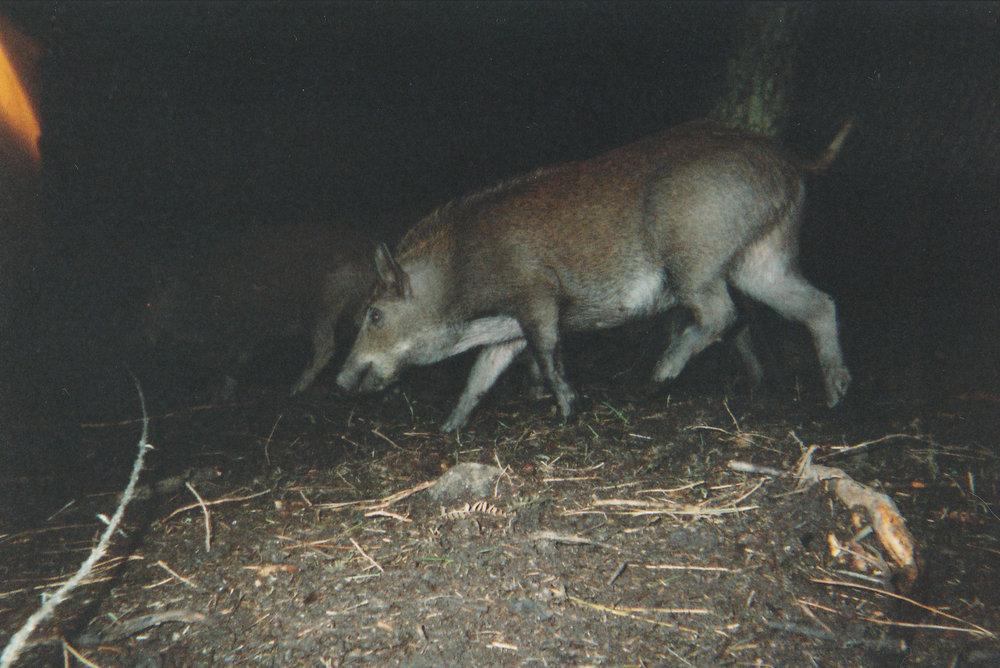 Wild Boar Photos 17.jpg