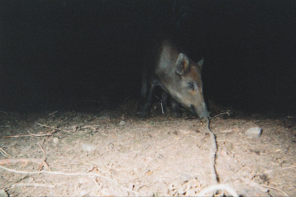 Wild Boar Photos 18.jpg