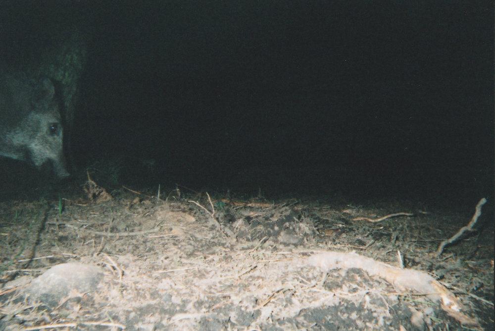 Wild Boar Photos 21.jpg
