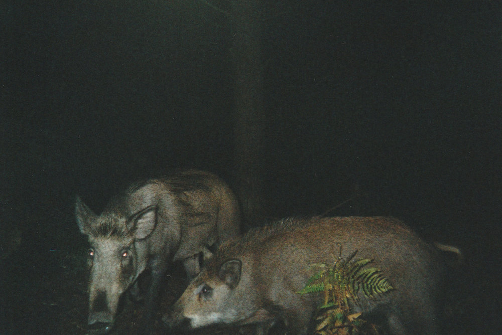 Wild Boar Photos 22.jpg