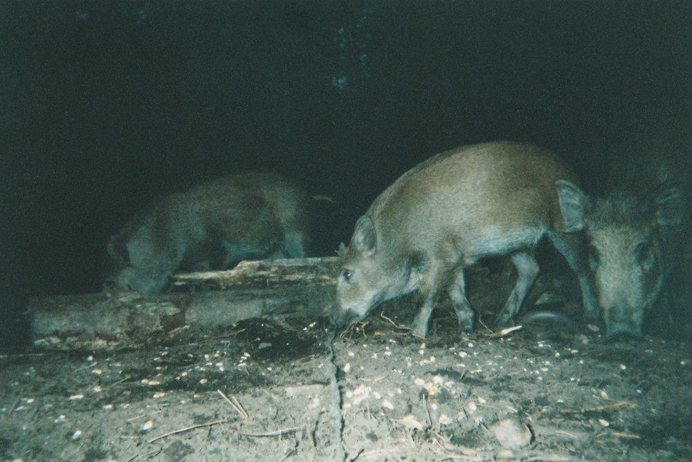 Wild Boar Photos 26.jpg