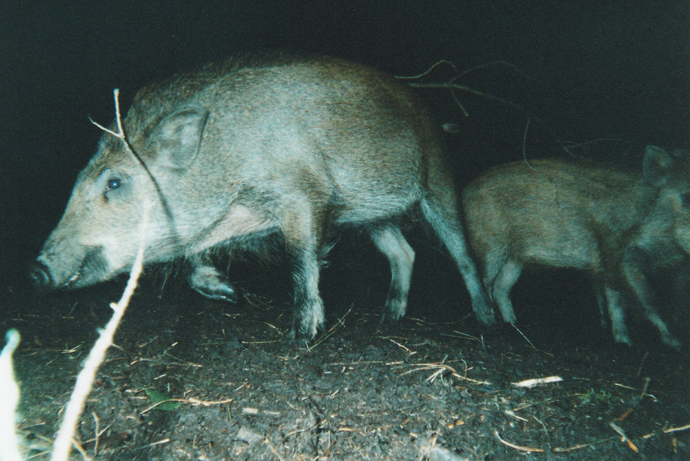 Wild Boar Photos 25.jpg