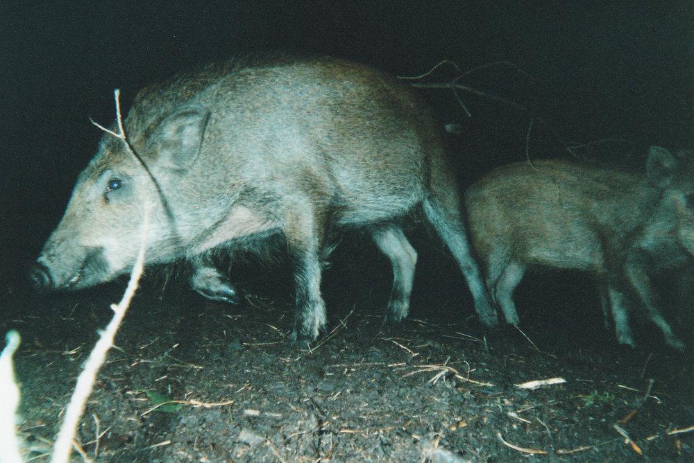 Wild Boar Photos 25.jpg