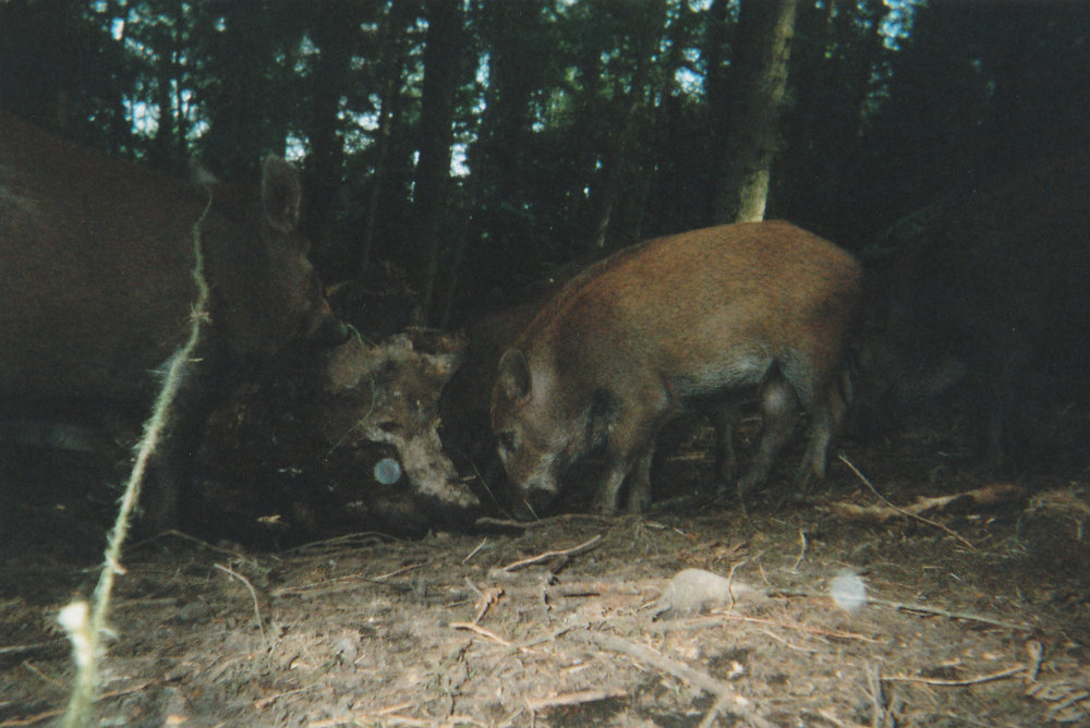 Wild Boar Photos 27.jpg