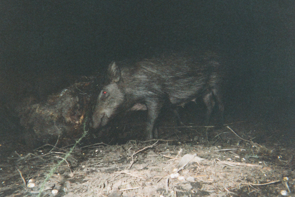 Wild Boar Photos 28.jpg