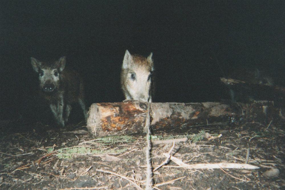 Wild Boar Photos 29.jpg