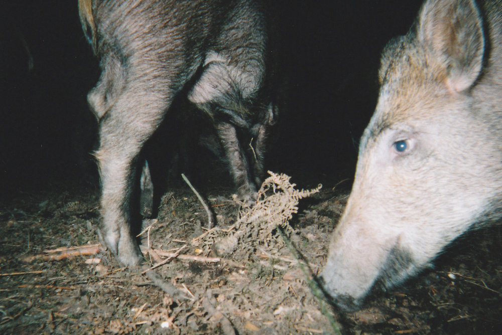 Wild Boar Photos 31.jpg