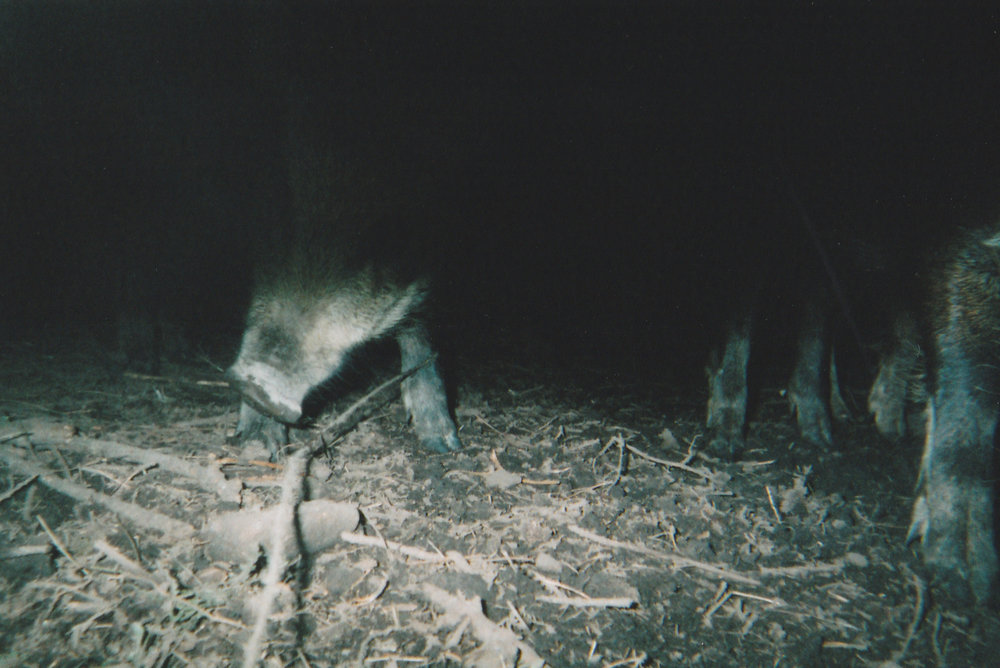 Wild Boar Photos 32.jpg