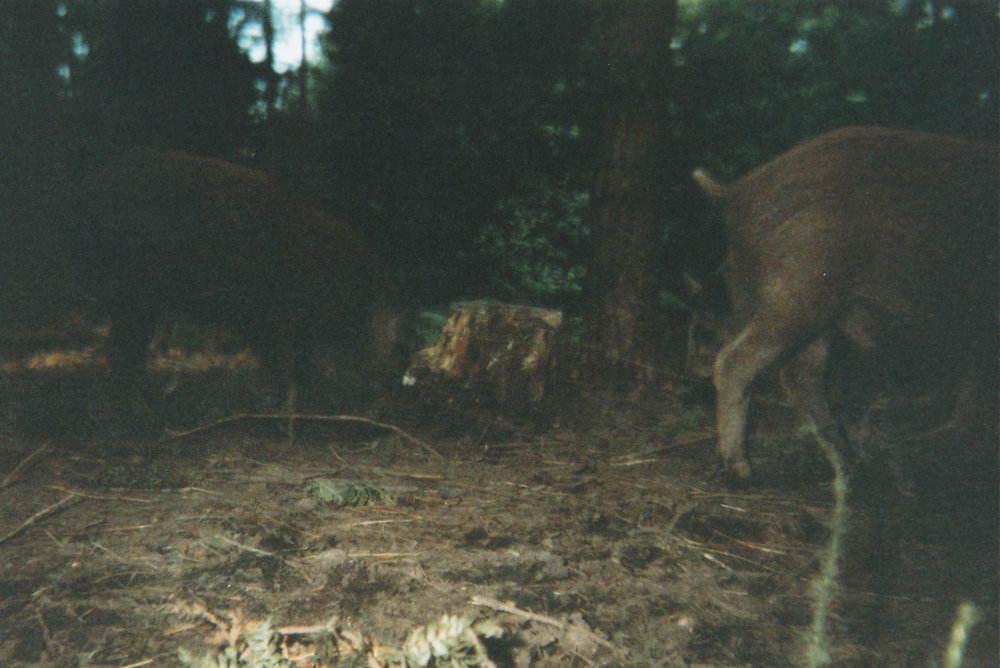 Wild Boar Photos 35.jpg