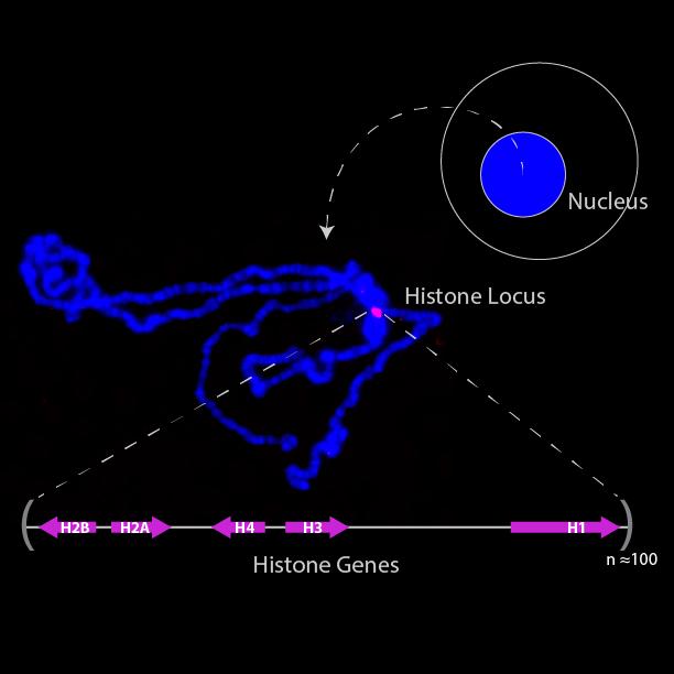 histone_locus-01.png