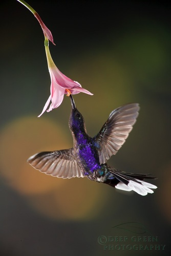 CR-Osa-Luna-Lodge-Copyright-RM_DG_hummingbirds-184.jpg