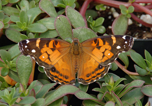 American Lady (painted lady) Wikimedia Commons (Derek Ramsey 2007) https://upload.wikimedia.org/wikipedia/commons/6/6a/American_Lady_Vanessa_virginiensis_Upper_Wings_1609px.jpg