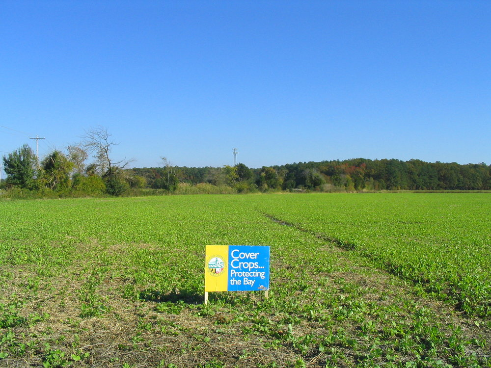 A field of forage radish planted in the MACS Cover Crop Program.