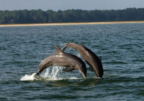 Dolphin Eco Tour - This is our most popular boat trip! It's a 2 hour Lowcountry backwater tour like you've never imagined! Hilton Head and surrounding areas boast a large and active population of Atlantic Bottlenose Dolphin, with great viewing opportunities year-round! You'll discover hidden creeks, undeveloped islands and see dolphins and other wildlife so close you'll practically be able to touch them. Price Range:$85.00 to $110.00Palmetto Bluff Members: Ask about special member pricing when calling.CALL FOR RESERVATIONS @800-686-6996