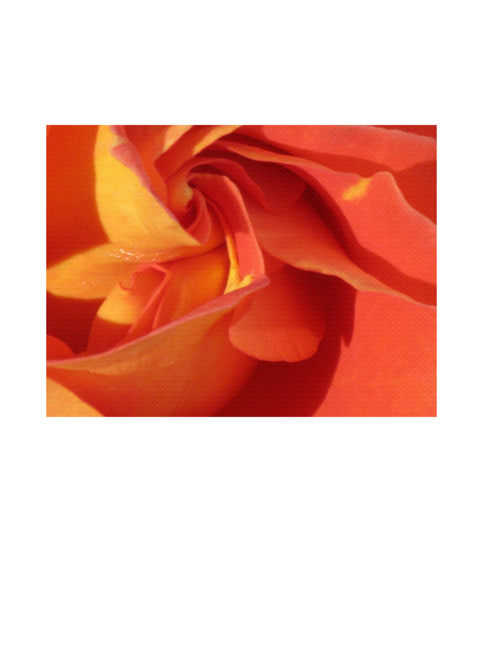 Heart of the rose photo   (coral).JPG