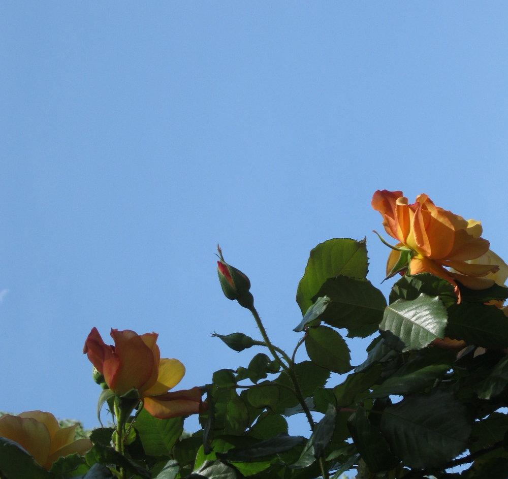 Roses against the sky.JPG