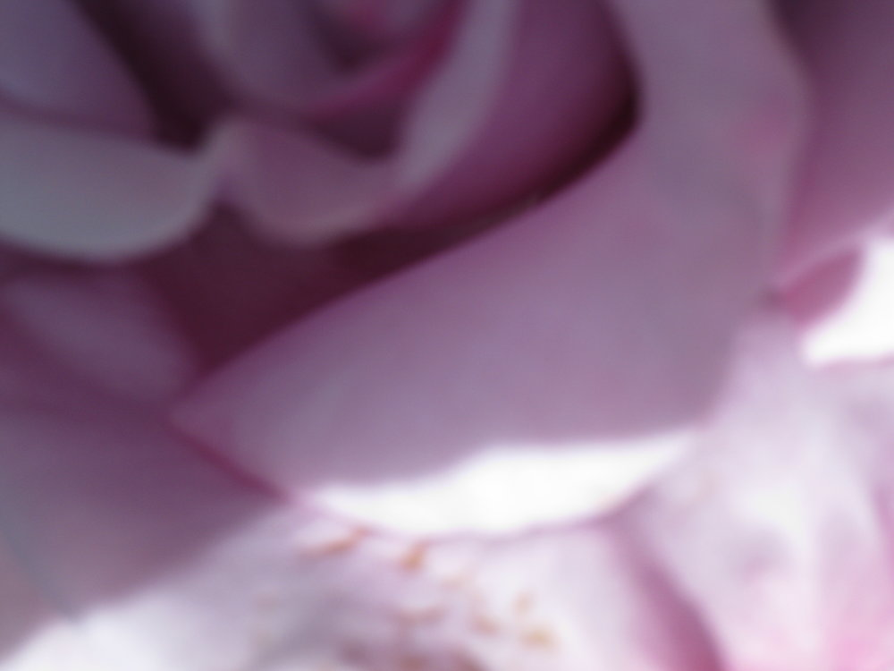 Pink rose close-up heart copy.JPG