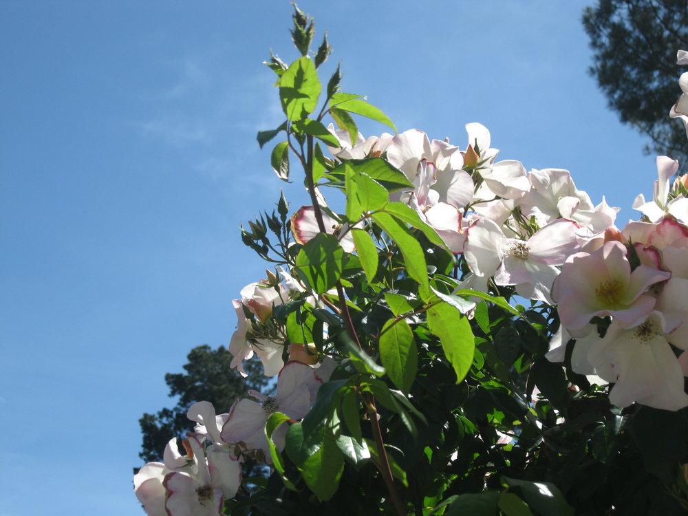 Roses reaching up to sky (white-pink).JPG