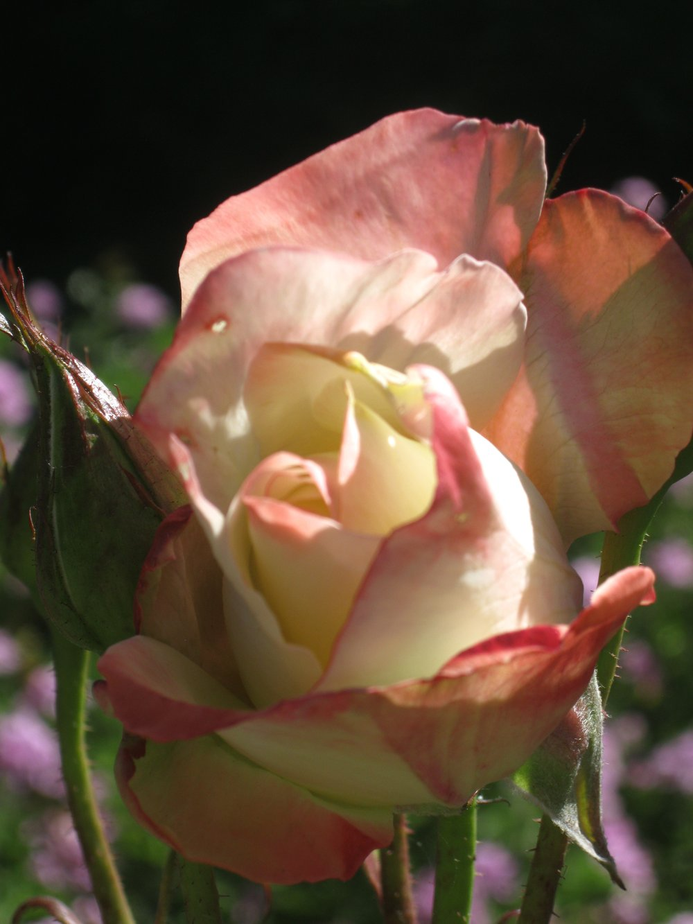 Rose & bud, white-yellow-pink (delicate).jpg