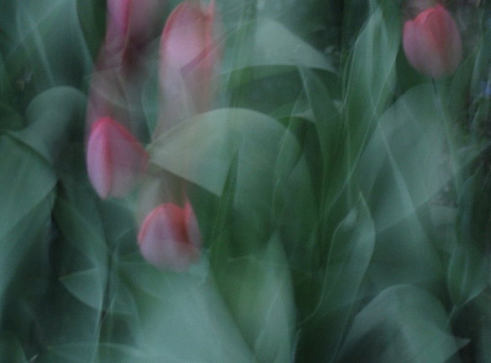 #12: tulips dreaming
