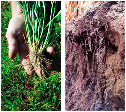 Annual ryegrass roots can create channels of three to five feet, establishing deep pathways for your crop's roots.