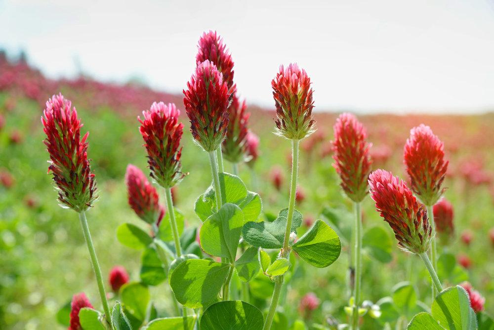 crimson-clover.jpg