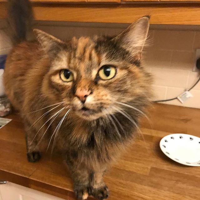 Princess Pickles 👑 . . . . #catsofinstagram #catsitter #catsitternorwich #princesspickles #catsofnorwich #norwichcats #mobilecatsitter #feline #meow