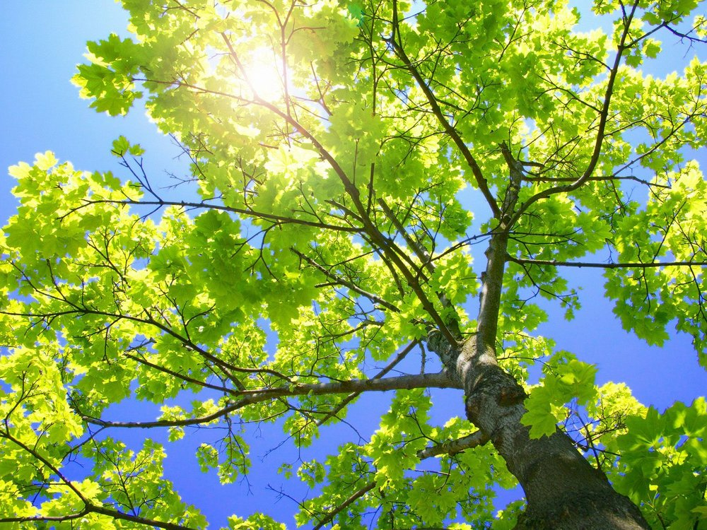 Sycamore_Tree.jpg