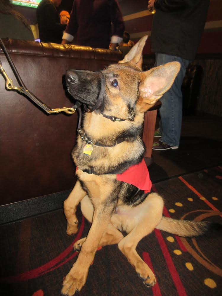 German Shepherd puppy, possible future FIDELCO guide dog.