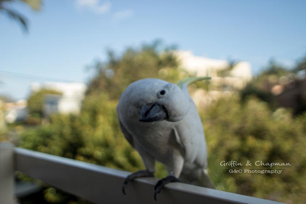 curious cockatoo.jpeg