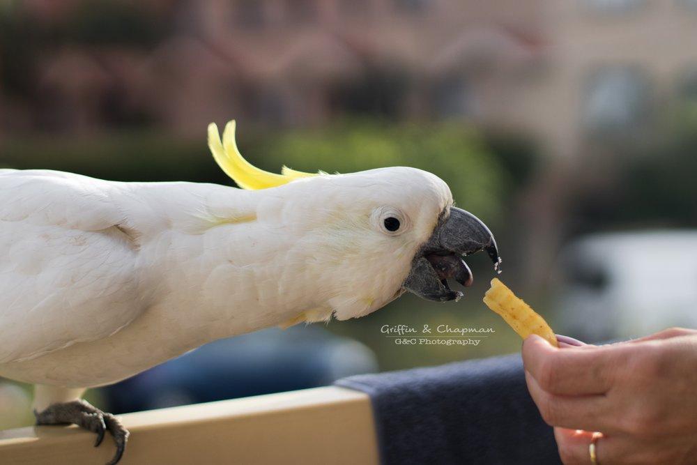 Cockaraptor-- photo by Taylah Chapman
