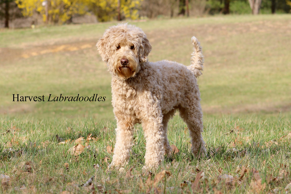 Harvest Labradoodles, Indiana's premier multi-generational Australian Labradoodle Breeder! Contact us to learn more about adopting a puppy today! Australian Labradoodles, Labradoodle, Indiana, Kentucky, Ohio, Mini Labradoodle, Black Labradoodle puppy.