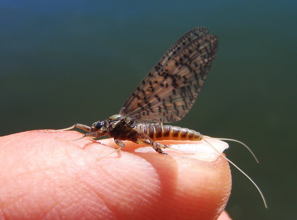 March Brown Mayfly Dun