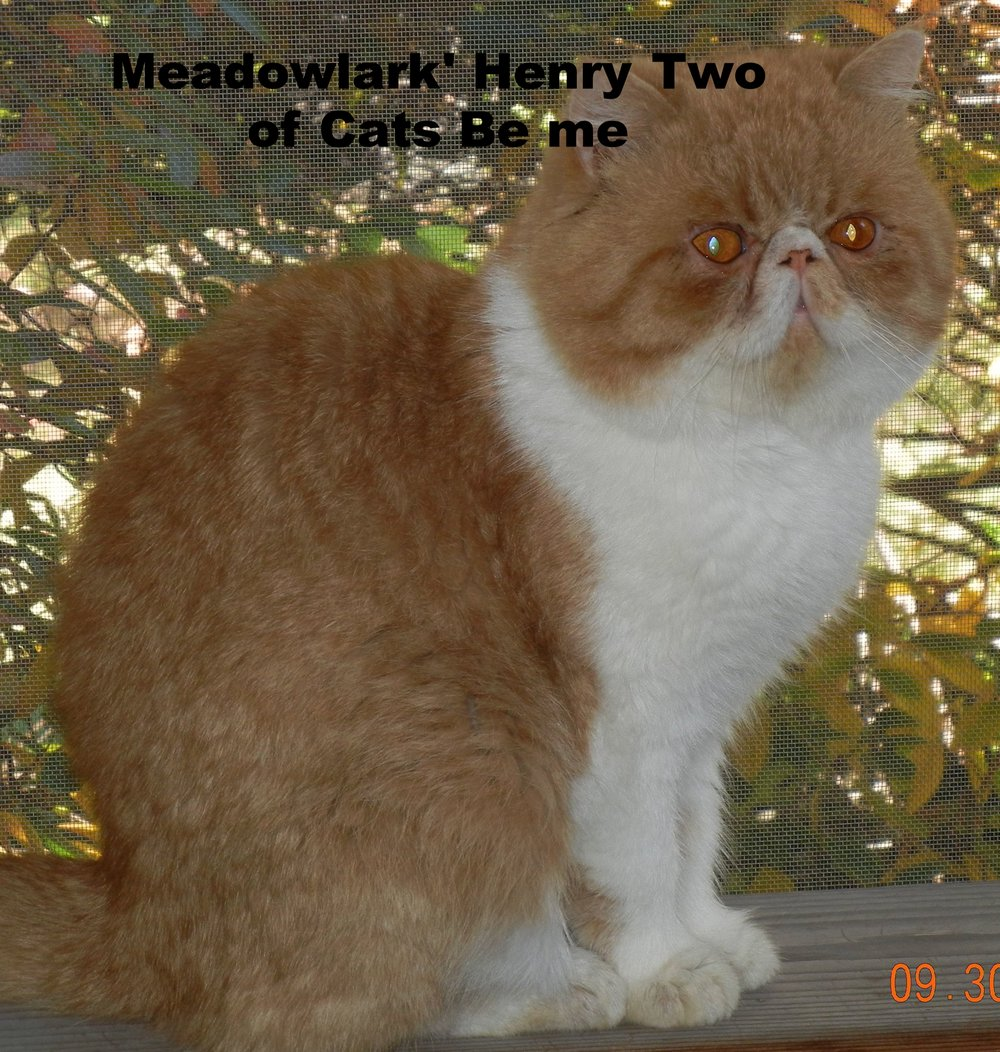 Meadolark's Henry TWO of Cats Be Me    Red Mackerel and White Tabby