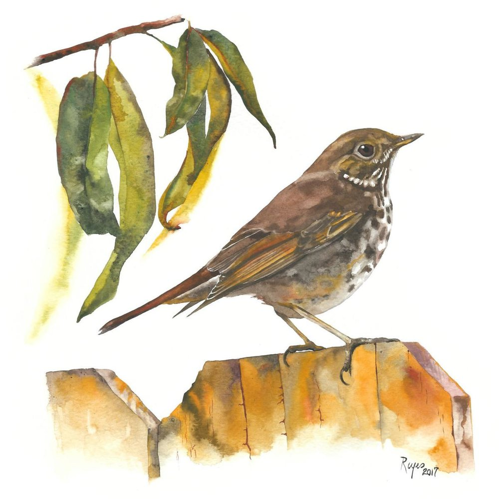 René C. Reyes, Hermit Thrush, watercolor