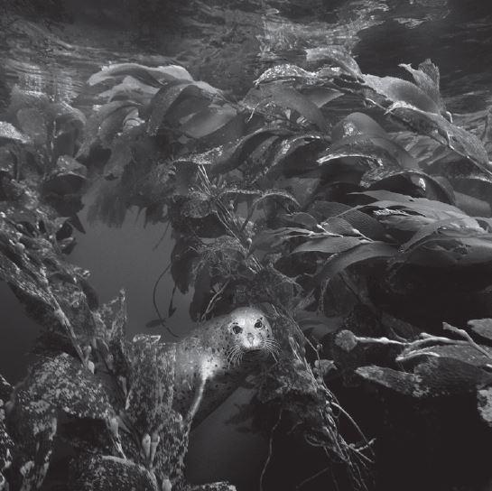 Ernest H. Brooks II, Spot (Harbor Seal – Phoca vitulina)