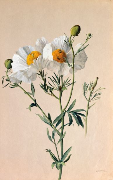 Romneya trichocalyx (Hairy Matilij a Poppy) 1908–1918