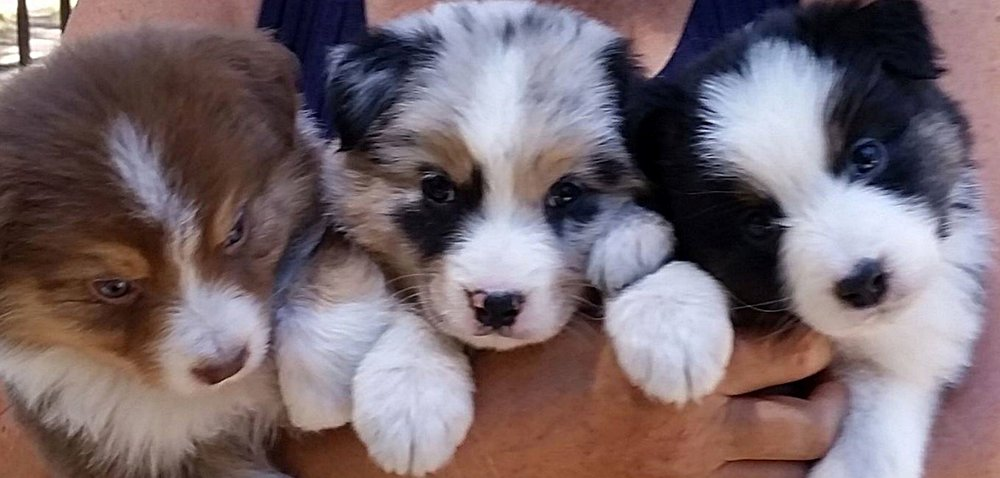 We anticipate puppies early fall 2018. Please see our Future Litters page. -