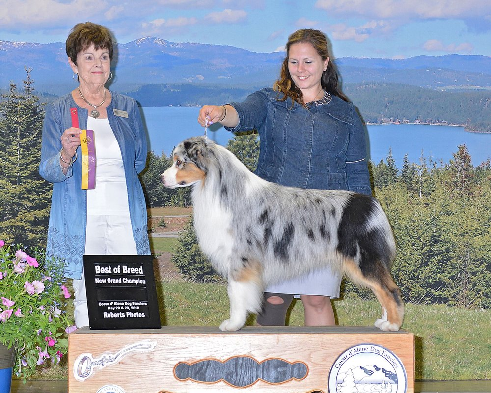 Rocky - AKC GCH Witsend's River RogueSire: Diesel (Witsend's Running on Empty)Dam: Melody's Sky DancerFull Detention/Scissor's biteMDR1: n/nCEA: n/CEAHC: n/nPHA: negativeEye's Cleared Annually, no notationsD/DNot red factored