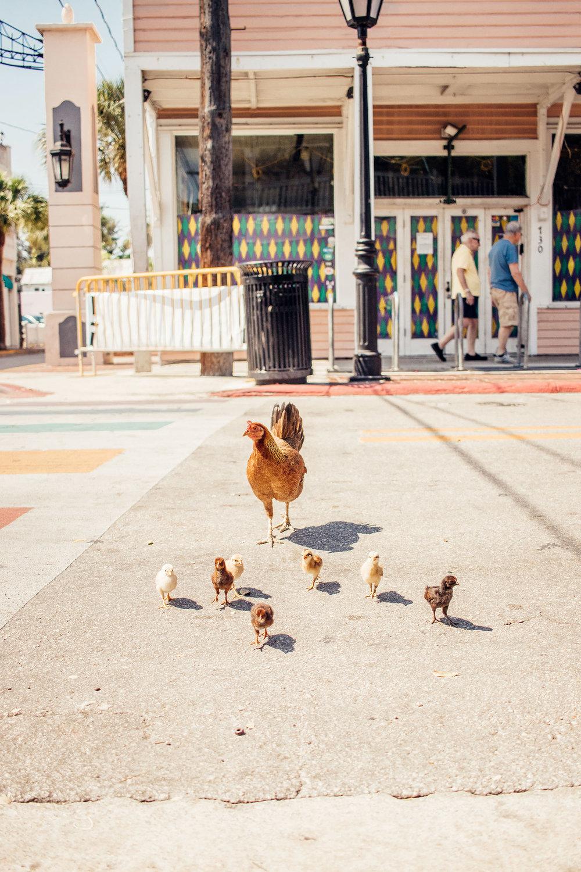 duval_Street_chickens.jpg