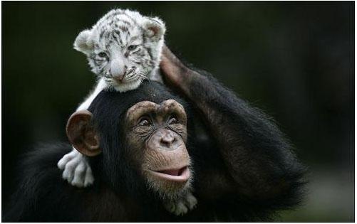 Tiger Chimp 3