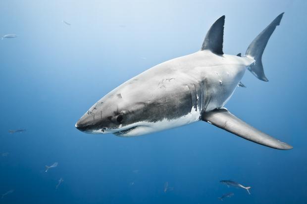 Great White Shark on Shark Week | emma-elsewhere.com