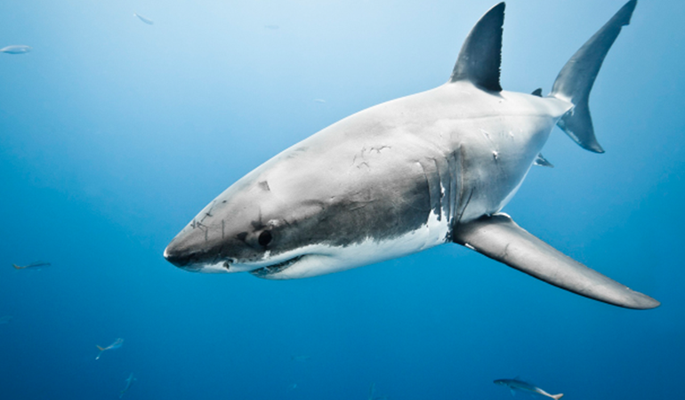 great-white-shark.png