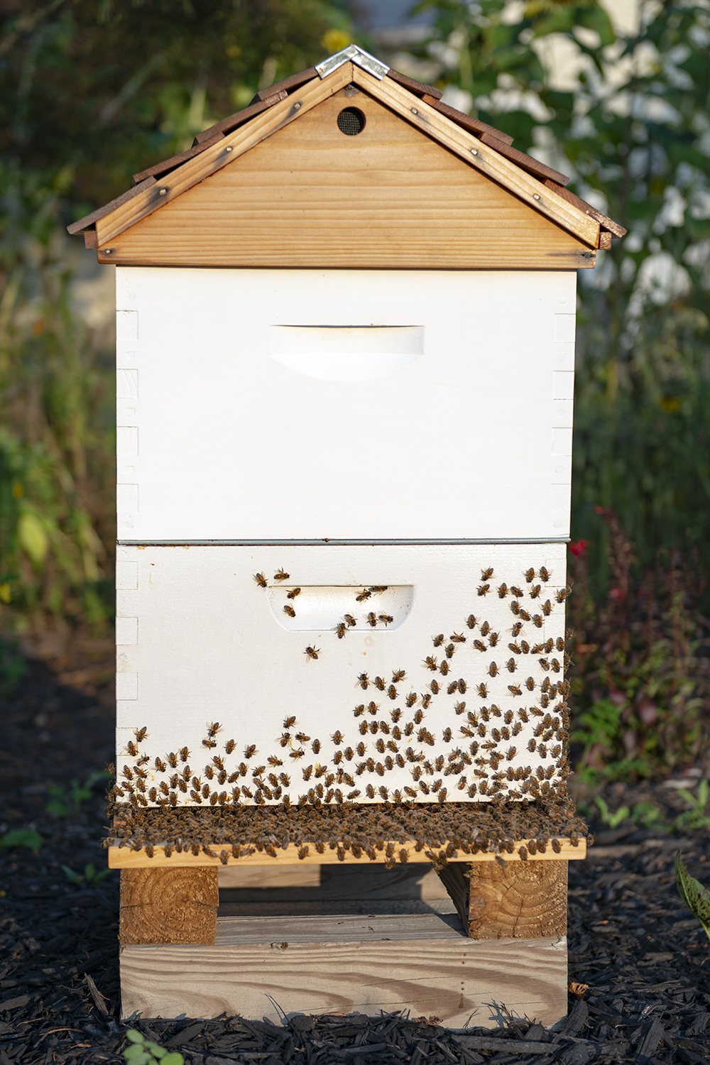 Our second Langstroth hive at FoxTail Farm (Morning, August 8, 2018)