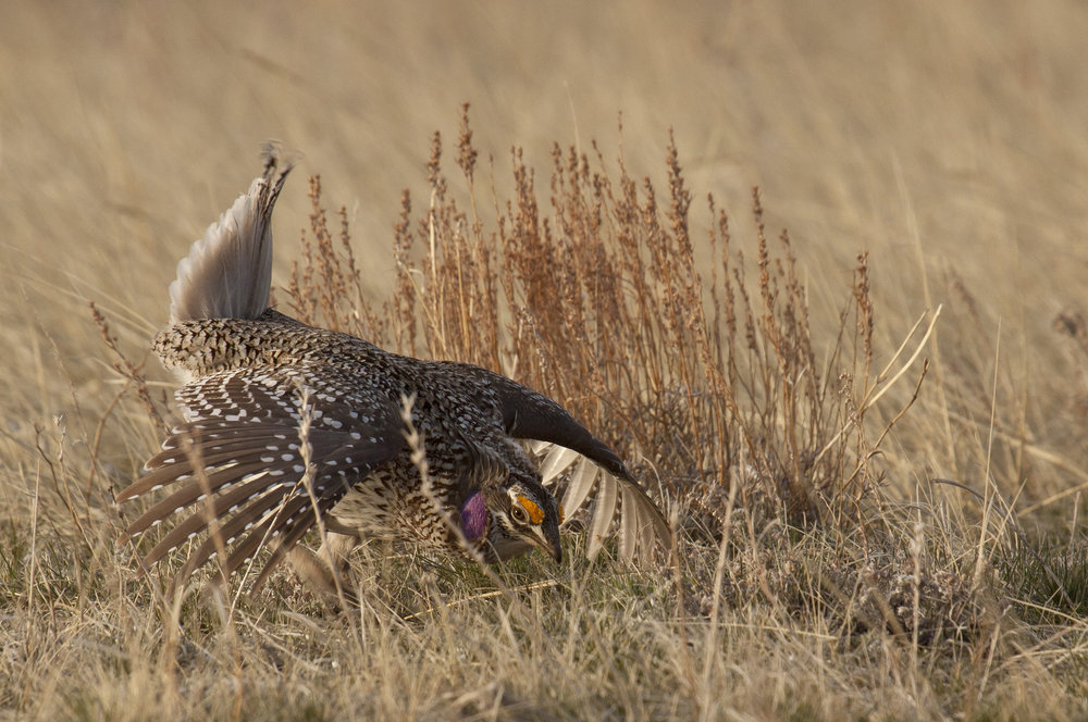 2 Sharptail Grouse.jpg