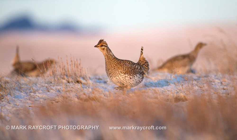 ST041_Sharp-Tailed_Grouse_Mark_Raycroft.JPG