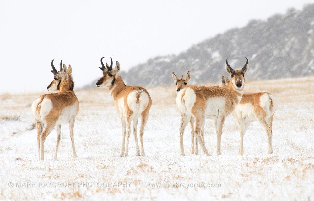 PH023_Pronghorn_Antelope_Mark_Raycroft.JPG