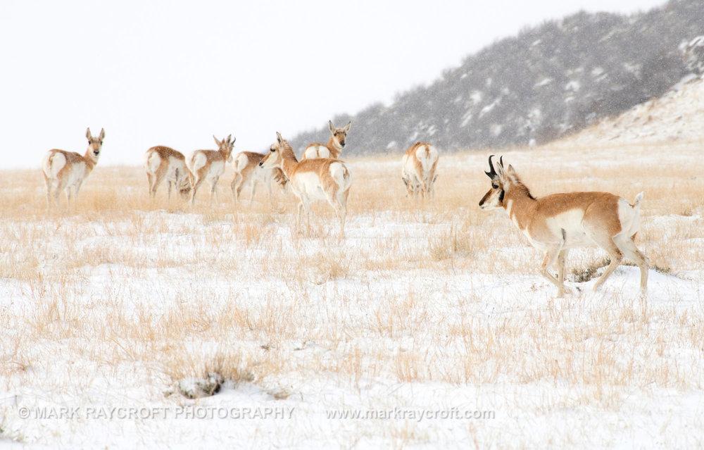 PH022_Pronghorn_Antelope_Mark_Raycroft.JPG
