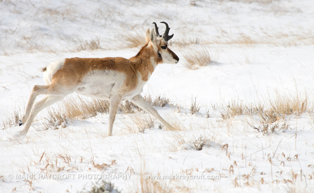 PH029_Pronghorn_Antelope_Mark_Raycroft.JPG