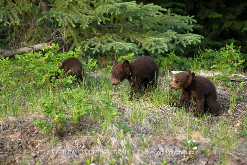 UA7752_CINNAMON CUBS Black_Bear_Mark_Raycroft.JPG